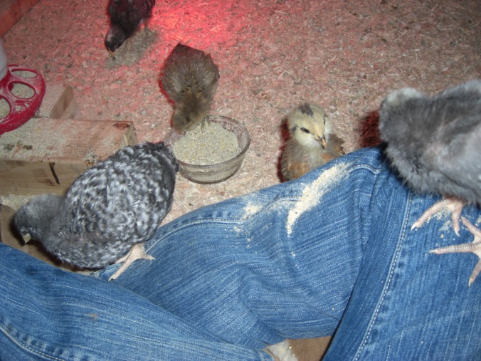 Other Marans on my lap