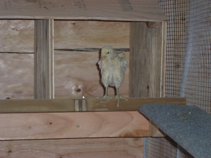 Daisy Mae on the perch bar in front of the nesting boxes.